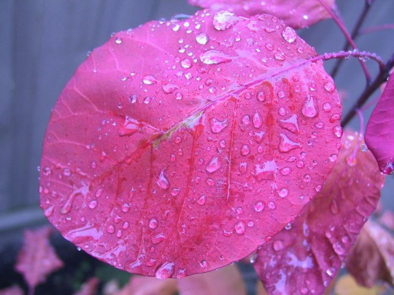 Rain-on-Pinkish-Purple-Leaf-570x427