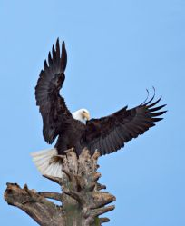 Bald Eagle (Haliaeetus leucocephalus) with wings stretched overhead